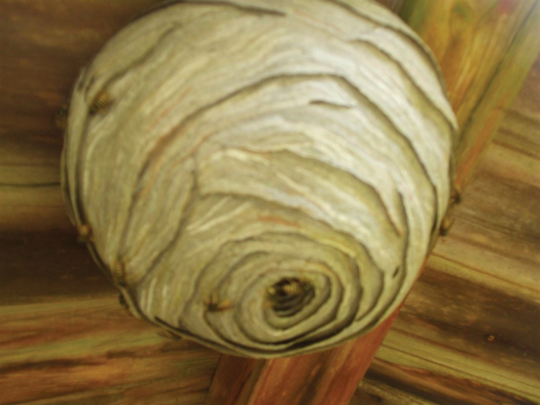Wasp nest, summer house, Bath, treated by Barron Pest Control